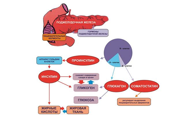Какие гормоны вырабатывает поджелудочная железа человека?