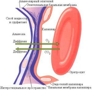 Базальная мембрана альвеол